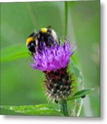 Wild Busy Worker Bumble Bee On A Thistle Flower Metal Print