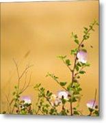 wild caper plant Capparis spinosa Metal Print