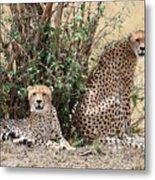 Wild Cheetahs Metal Print