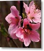 Wild Cherry Blossom Metal Print