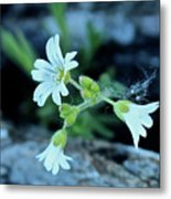 Wild Chickweed Metal Print