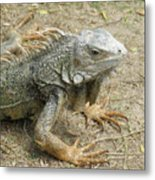 Wild Colorful Iguanas In The Outdoors With Spines On His Back Metal Print
