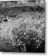 Wild Desert Flowers Blooming In Black And White In The Anza-borrego Desert State Park Metal Print