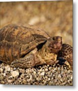 Wild Desert Tortoise Saguaro National Park Metal Print by Steve Gadomski