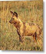 Wild Dog Of Botswana Metal Print