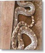 Wild Friendly Gopher Snake Metal Print