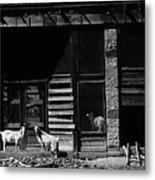 Wild Goats Ghost Town White Oaks New Mexico 1968 Metal Print