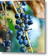 Wild Michigan Grapes Metal Print
