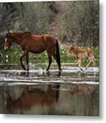 Wild Mother And Foal Horses Walk In The Salt River  Metal Print