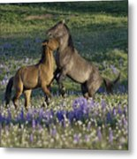 Wild Mustangs Playing 2 Metal Print