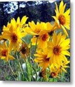 Wild Okanagan Sunflowers Metal Print
