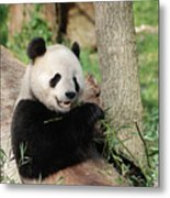 Wild Panda Bear Eating Bamboo Shoots While Leaning Against A Tre Metal Print