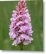 Wild Pink Spotted Orchid Metal Print