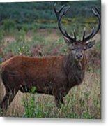 Wild Red Deer Stag Metal Print
