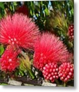 Wild, Red Fluffy Flowers  Metal Print