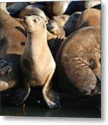Wild Sea Lions  Metal Print