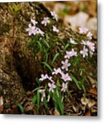 Wild Spring Beauty Metal Print
