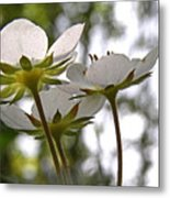 Wild Strawberry Blossoms Metal Print