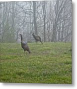 Wild Turkey Grazing At Dawn Metal Print