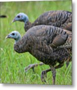Wild Turkey In Shiloh Military Park Metal Print
