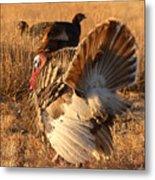 Wild Turkey Tom Following Hens Metal Print by Max Allen