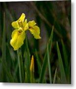 Wild Yellow Iris Metal Print