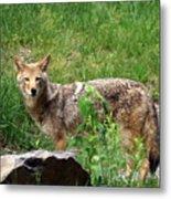 Wiley Coyote Metal Print