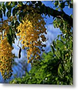 Wilhelmina Tenney Rainbow Shower Tree Makawao Maui Flowering Trees Of Hawaii Metal Print