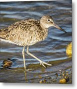 Willet Feeding In The Marsh 1 Metal Print