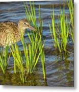 Willet Feeding In The Marsh 2 Metal Print