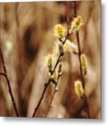 Willow Catkins Metal Print
