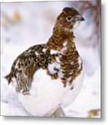 Willow Ptarmigan Metal Print