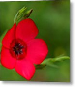 Red Annual Flox Metal Print