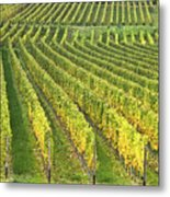Wine Growing Metal Print