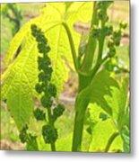 #wine On The #vine 😊 #vineyard Metal Print