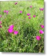 Winecup Flowers Metal Print