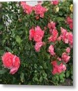 Winery Roses  Metal Print