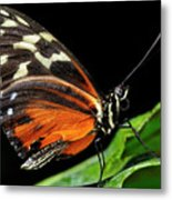Wing Texture Of Eueides Isabella Longwing Butterfly On A Leaf Ag Metal Print