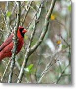 Winter Cardinal Sits On Tree Branch Metal Print