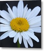 Winter Daisy Metal Print