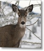 Winter Doe Of The Okanagan Metal Print