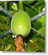 Winter Melon In Garden 1 Metal Print