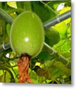 Winter Melon In Garden 2 Metal Print