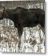 Winter Moose Metal Print