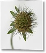 Winter Pincushion Plant Metal Print