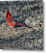 Winter Redbird Metal Print