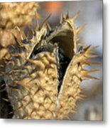 Winter Seed Pod Metal Print