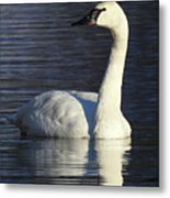 Winter Swan Metal Print