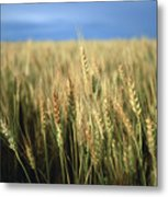 Winter Wheat In Linn, Kansas Metal Print