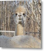 Winter White Alpaca Metal Print